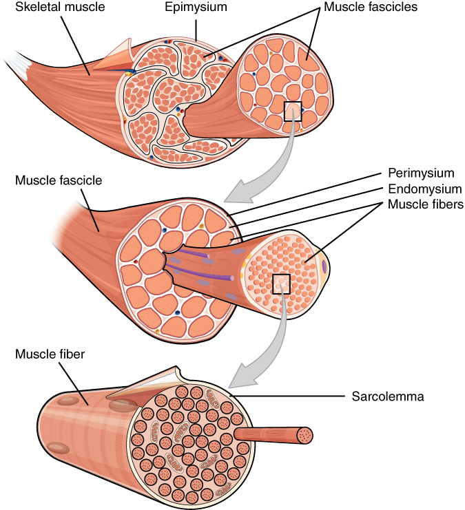 muscle fibers fascicles sarcomeres